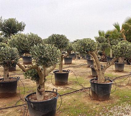 El Reino Unido debe retirar sus requisitos adicionales referente a plantas huéspedes de Xylella