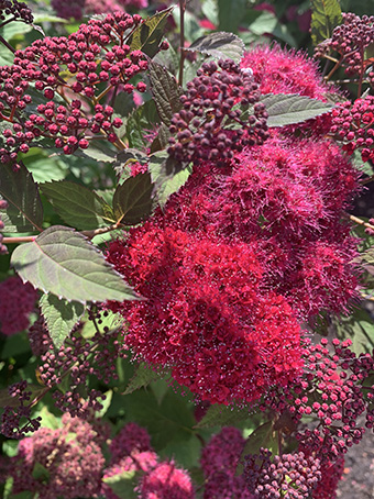 Gold for Spirea Double Play® Doozie® at Plantarium 2020